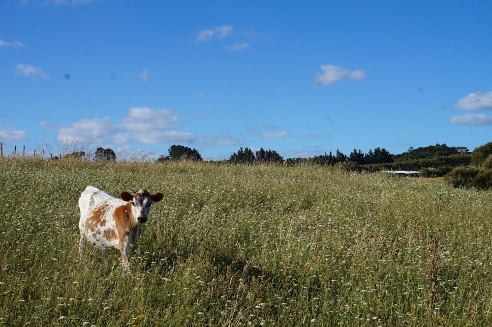 Dairy Cow in meadow Otamatea Eco Village