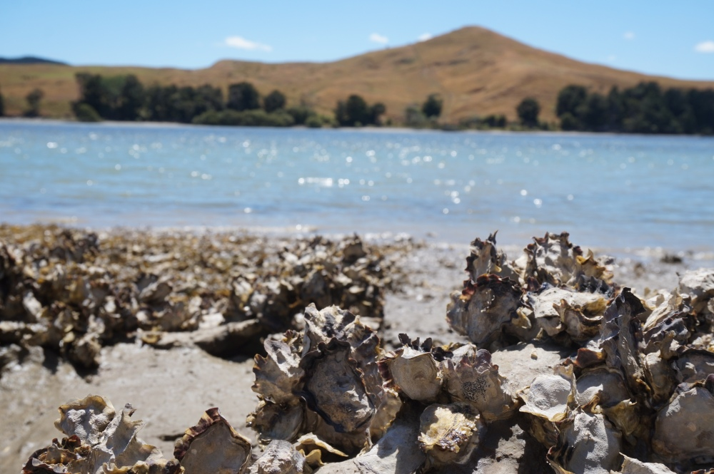 Wild New Zealand Oysters